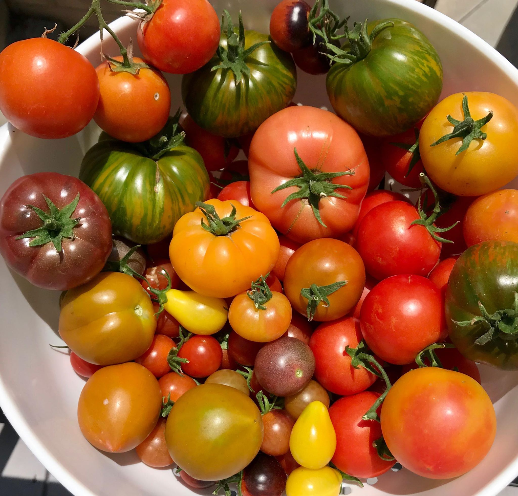 Basket full of heirloom tomatoes